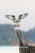 00783-02110 Osprey (Pandion haliaetus) landing at nest Rend Lake Jefferson Co. IL