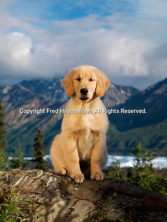 """Golden Retriever puppy, 4-month-old """"Jersey"""" owned by John Schloeder of Anchorage, Alaska and photographed in Glacier View, Alaska."""