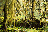 Hall of Mosses area. Hoh River Rain Forest. Olympic National Park, WA