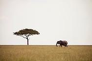 An elephant grazing near a lone acacia tree in the Masai Mara National Reserve, Kenya, Africa
