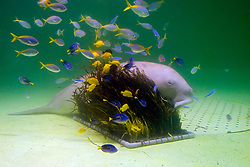 dugong, Dugong dugong, behind its food, amamo, Cymodocea sp., seagrass native to Japan, and yellow and blueback fuiliers, Caesio teres, yellow tang, Zebrasoma flavescens, and palette surgeonfish, Paracanthurus hepatus (c), Indo-Pacific Ocean