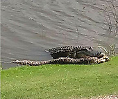 golfer captures incredible photo of alligator and Burmese python fighting at Florida course