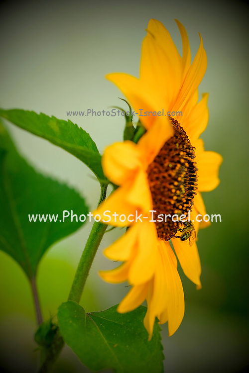 Yellow Daisy with visiting bee