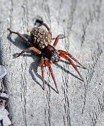 04 June 2014. Jean Lafitte National Historic Park, Louisiana.<br /> A large spider warms itself with young on its back at the Barataria Preserve wetlands south or New Orleans.<br /> Charlie Varley/varleypix.com