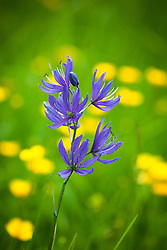 Camassia and buttercups growing in meadow grass