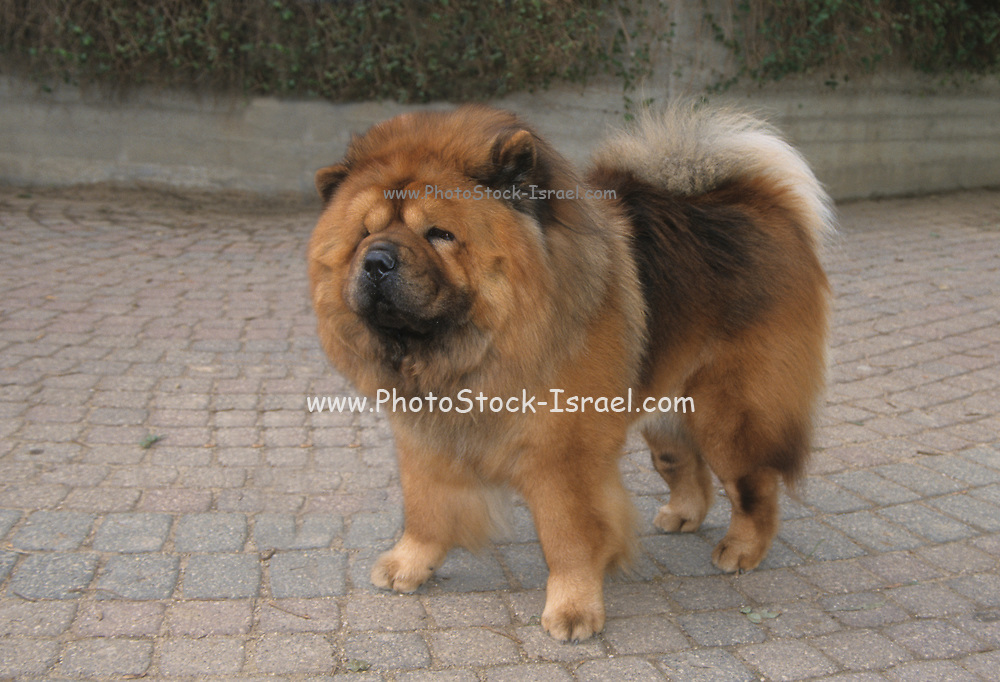 The Chow Chow is a dog breed originally from northern China. The Chow Chow is a sturdily built dog, square in profile, with a broad skull and small, triangular, erect ears with rounded tips. The breed is known for a very dense double coat that is either smooth or rough. The fur is particularly thick in the neck area, giving it a distinctive ruff or mane appearance. The coat may be shaded/self-red, black, blue, cinnamon/fawn, or cream
