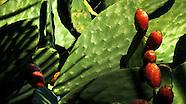 Prickly Pear ~ Nopales Cactus ~ Santa Cruz Mountains