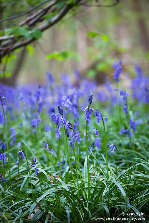 Bluebell. Hyacinthoides non-scripta