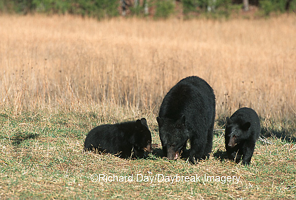 01872-008.10  Black Bear (Ursus americanus) female with cubs (2) eating walnuts Great Smoky Mountains NP  TN