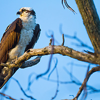Unique among North American raptors for its diet of live fish and ability to dive into water to catch them, Ospreys are common sights in New Jersey soaring over shorelines, patrolling waterways, and standing on their huge stick nests, white heads gleaming. These large, rangy hawks do well around humans and have rebounded in numbers following the ban on the pesticide DDT. Hunting Ospreys are a picture of concentration, diving with feet outstretched and yellow eyes sighting straight along their talons.