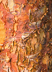 The bark of Acer griseum. Paperbark maple