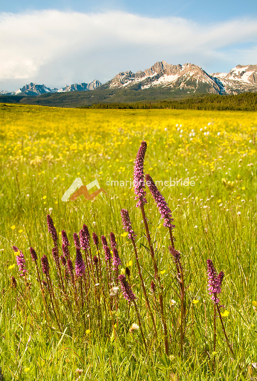 Scenic view of the Sawtooth Mountains with Elephant's Head (Pedicularis groenlandica) flowers in the forground during spring in Stanley, Idaho.