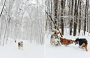 Editorial Travel Photography: ĥuskie dog portrait and dogs having fun in the snow, Mont Royal Park, Montreal, Quebec, Canada