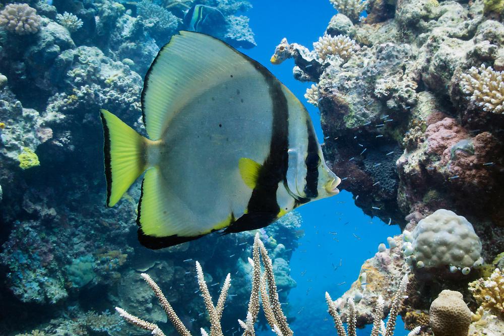 Pinnate batfish or spade fish (platax pinnatus)- Agincourt Reef, Great Barrier Reef, Queensland, Australia <br /> <br /> Editions:- Open Edition Print / Stock Image