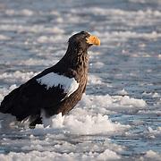 Steller's sea eagle on floating ice. Hokkaido, Japan