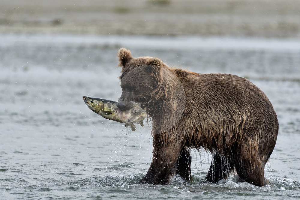 A grizzly bear sub-adult catches chum salmon in the lower lagoon at the McNeil River State Game Sanctuary on the Kenai Peninsula, Alaska. The remote site is accessed only with a special permit and is the world's largest seasonal population of brown bears.
