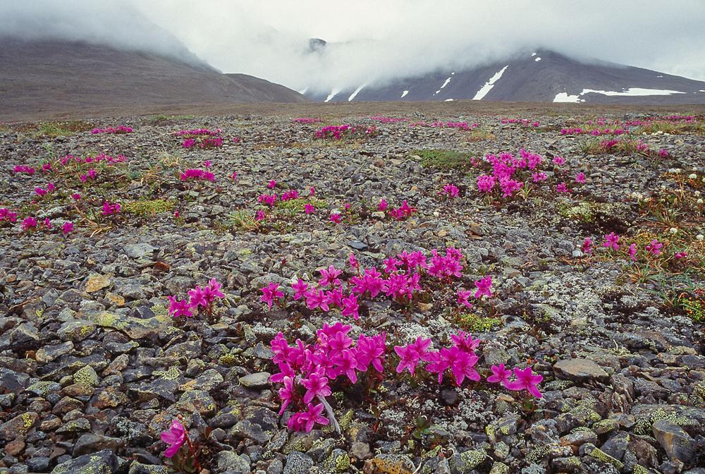 Lapland rosebay, summer, New Chaplino, Chukotsk Peninsula, NE Russia