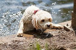 © Licensed to London News Pictures. 25/05/2017. London, UK. A dog enjoys hot weather in Hampstead Heath, north London as temperatures hit 29C on Thursday 25 May 2017. Photo credit: Tolga Akmen/LNP
