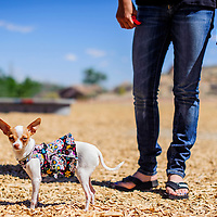 061314       Cable Hoover<br /> <br /> Baby stands by her owner Sabrina Padilla during the annual dog show at the City of Gallup Dog Park Friday.