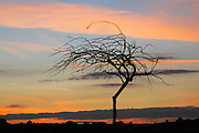 Acacia Tree in the desert at sunset Photographed in the Negev desert, Israel