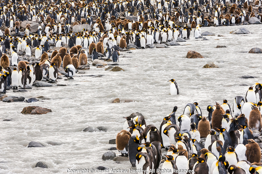 A King Penguin (Aptenodytes patagonicus) crosses the melt water river, St Andrews Bay, South Georgia Island, South Atlantic Ocean