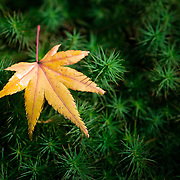 Newly fallen Japanese maple leaf resting atop delicate moss at Sanzen-in, in Ohara, Kyoto, Japan. 三千院