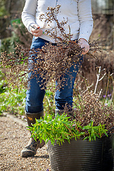Cutting back and tidying a border in late winter or early spring. Carrying away old material