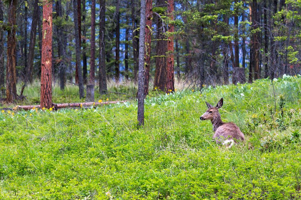 A Mule Deer (Odocoileus hemionus) in the Pine forest of Ellison Provincial Park near Vernon, British Columbia, Canada