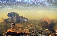 Arctic Grayling<br /> <br /> Paul Vecsei/Engbretson Underwater Photo