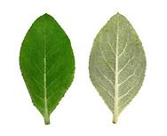 Hoary Mullein - Verbascum pulverulentum leaf upperside (left) underside (right)