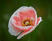 Pink and White Poppy flower. Image taken with a Nikon Df camera and 70-300 mm lens