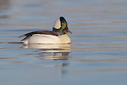 Stock photo of bufflehead captured in Colorado.  Unlike many ducks, buffleheads will remain with the same mate for several years.  They also nest in holes excavated by Northern Flickers.