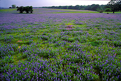 Field of bluebonnets with trees