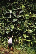 """Miconea, an invasive weed, has taken over large sections of mountainous forest near Hana on Maui. These plants """"escaped"""" from a nursery where they were sold as ornamental landscaping plants. Near Hana, Maui, Hawaii. USA. MODEL RELEASED."""