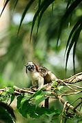 Mono tití / Bosque lluvioso tropical / Clayton, Panamá.