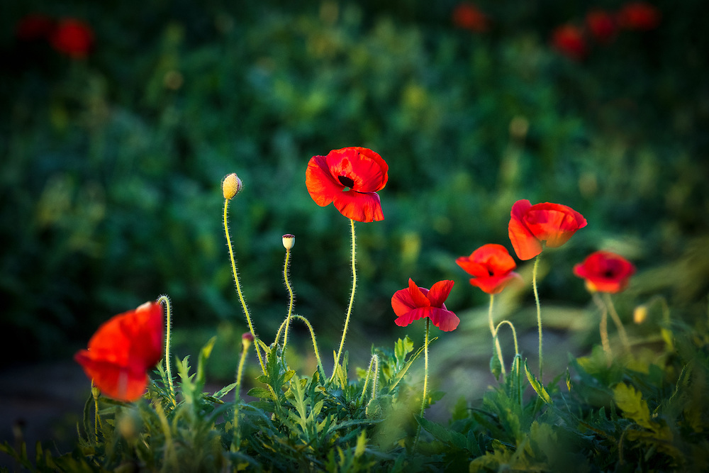 """Red poppies (Alsatian red poppies) Castroville, Texas, the """"Poppy Capital of Texas"""""""