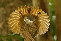 Paradise Riflebird (Ptiloris paradiseus).Young male performing practice display