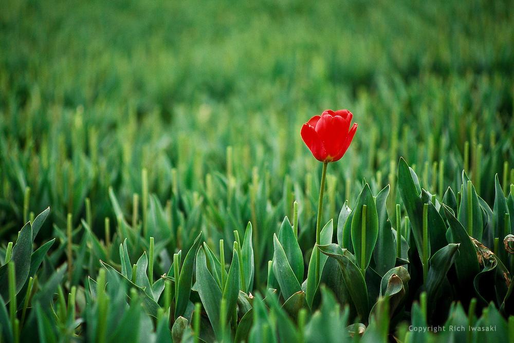 Single tulip blossom stands in harvested tulip field, Skagit Valley, near Mt. Vernon, Washington