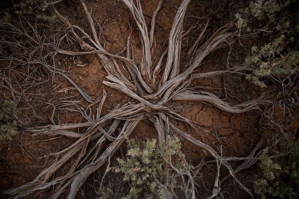 Sage root in Ranchos De Taos