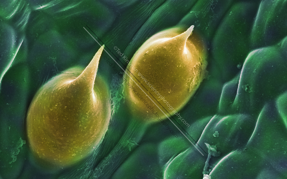 Cannabis plant. Colored scanning electron micrograph (SEM) of the surface of a cannabis (Cannabis sativa) plant.  Magnification is 180x when printed 10 cm wide.