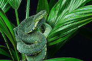 Two-striped Forest-pitviper (Bothriopsis bilineata smaragdinus)<br /> Amazon<br /> ECUADOR. South America<br /> Captive