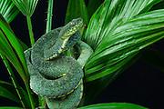 Two-striped Forest-pitviper (Bothriopsis bilineata smaragdinus)<br /> Amazon<br /> ECUADOR. South America<br /> Captive