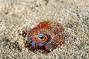 Hawaiian bobtail squid ( endemic ), Euprymna scolopes, burying itself in sand, at night, South Shore, Oahu, Hawaii, USA ( Central Pacific Ocean )