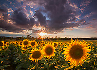 Sunset over a sunflower field in the Champlain Valley near Ferrisburg, VT