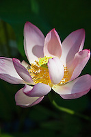 """Lotus Blossoms - Nelumbo is a genus of aquatic plants with large water lily-like flowers commonly known as lotus.  They are also called water lilies. There are two species in the genus, the better known of which  """"Sacred Lotus,"""" is the well known national flower of India and Vietnam."""