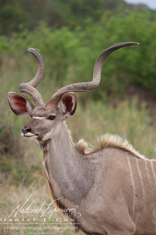 Kudu, Malamala Game Reserve, South Africa.