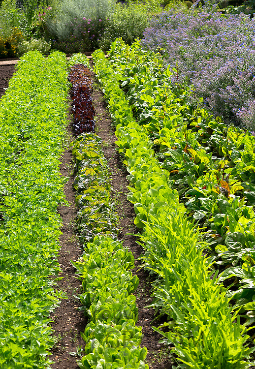 Lettuces and salad leaves at Raymond Blanc's organic vegetable and herb garden at Le Manor Aux Quat' Saisons in Oxfordshire, UK