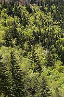 Deciduous and evergreen broadleaved forest in Beiyue Hengshan, Hunyuan County, Shanxi China. 针阔叶混交林,北岳恒山,浑源县,中国山西。