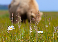 Coastal brown bear grazing on sedges, wildflowers and other grasses in meadow in Hallo Bay, Katmai National Park, Southwest, Alaska, summer