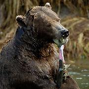 Alaskan Brown Bear, (Ursus middendorffi) Katmai National Park. Alaska.